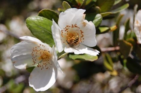 Eucryphia_cordifolia_Flor_del_ulmo_(RastaChango)